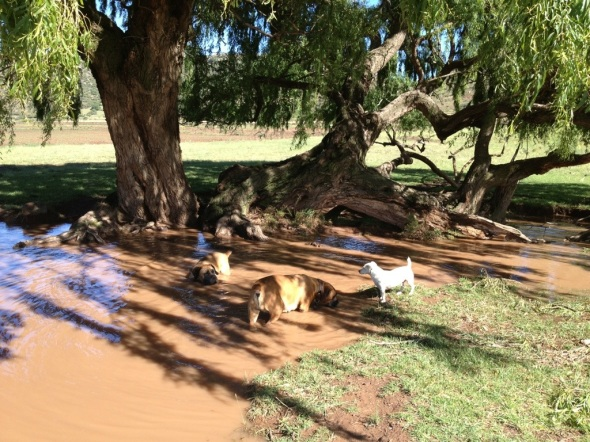 Tumi, Paris and Patch having a swim.