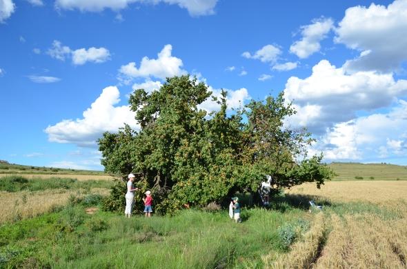 Appelkoos boom land.