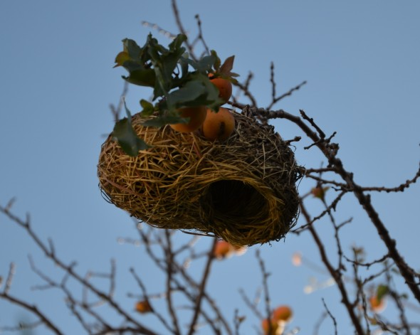 A nest among the apricots.