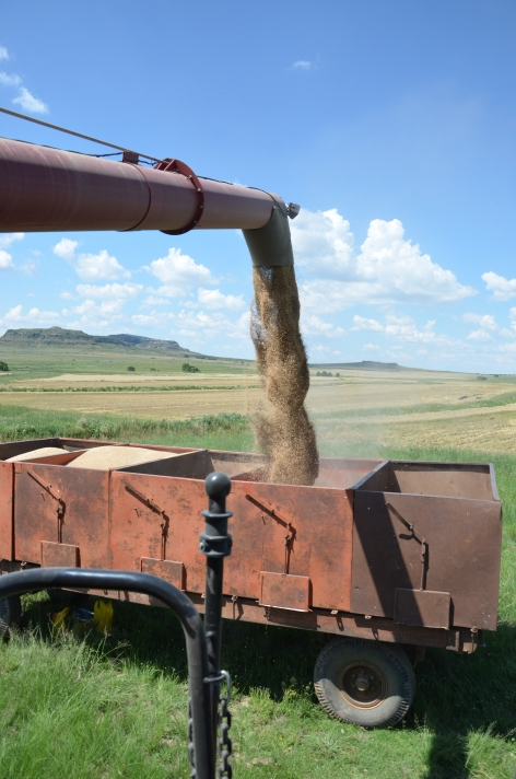 Offloading wheat into trailers.