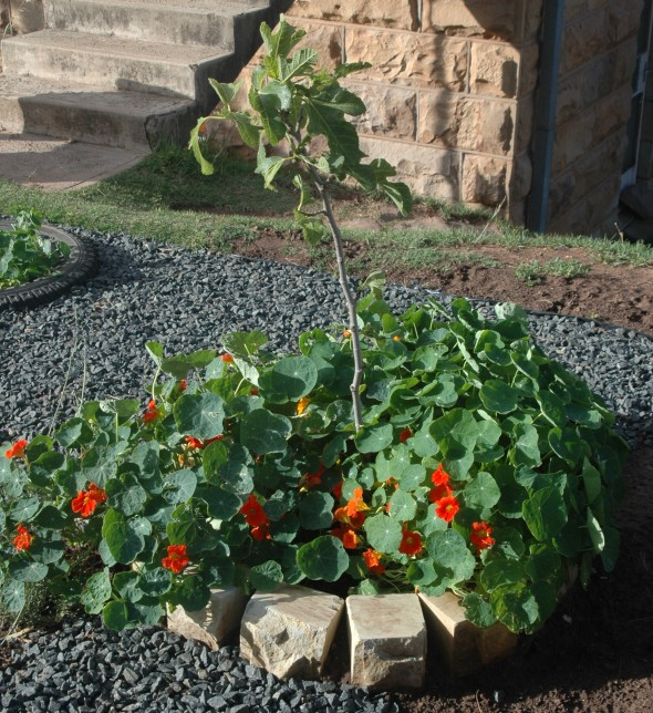 Fig tree with nasturtiums.
