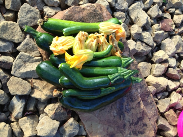 Early morning courgette harvest.