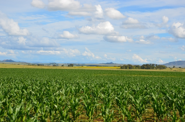 Dark green maize fields contrasted with yellow sunflowers in the distance.
