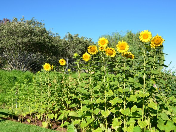 Sunflowers in the veggie garden.