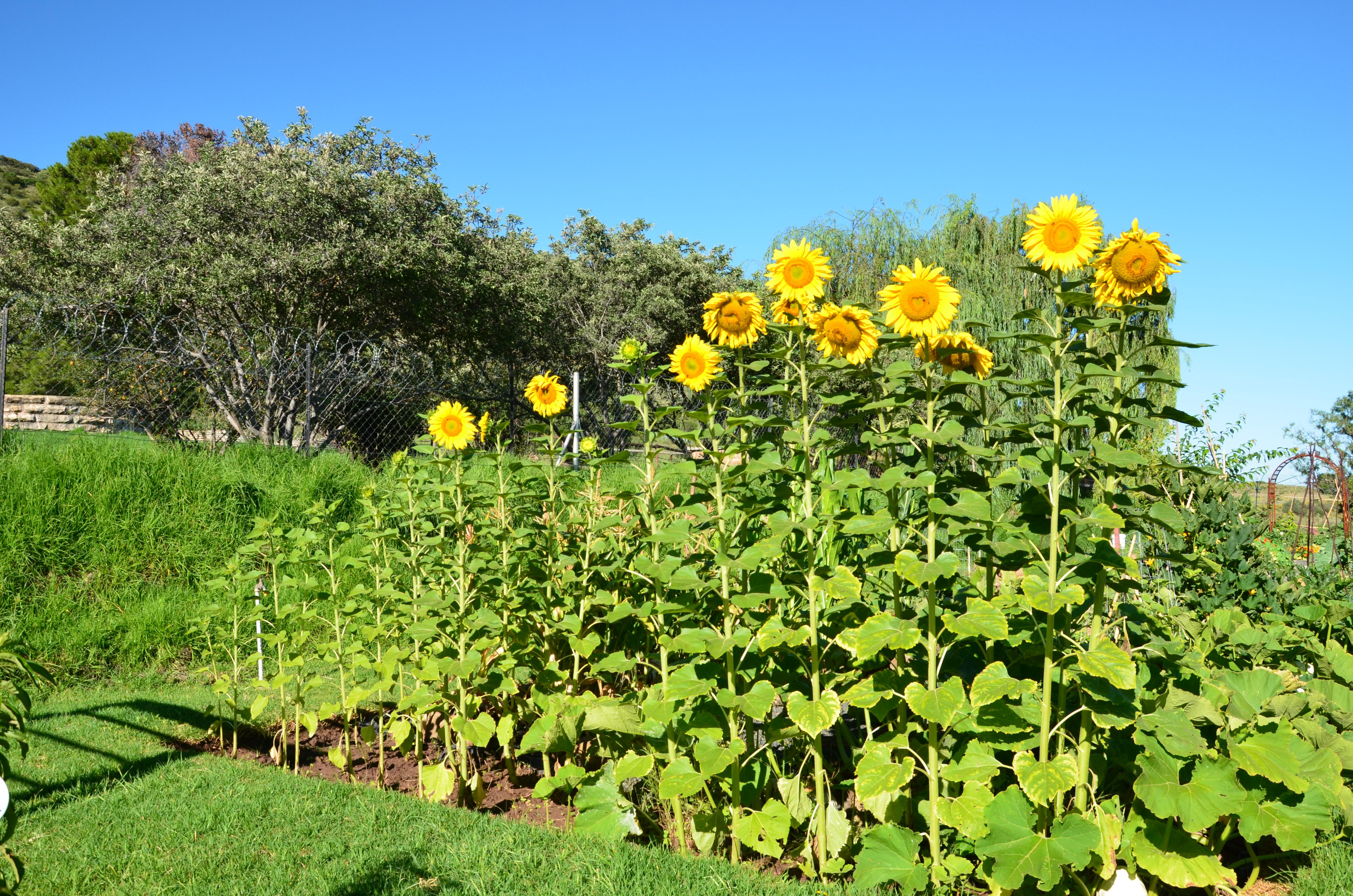 Sunflower Garden Bing Images