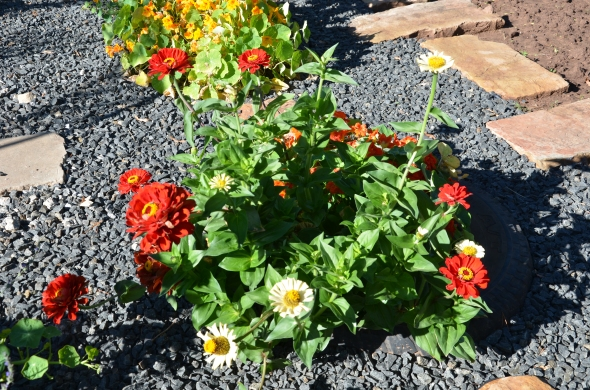 Red and white zinnias.
