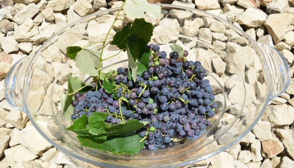 Little grape harvest.