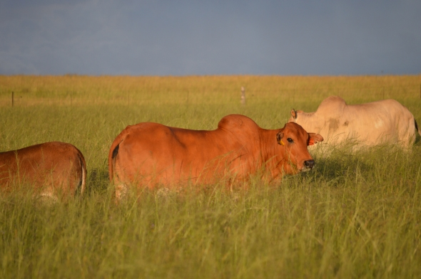 Cows swimming in the grass!