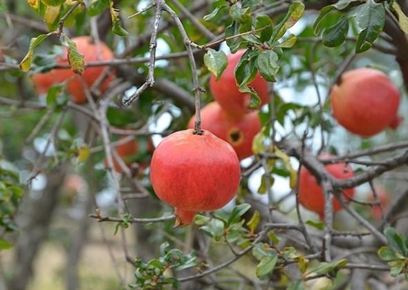 Ripening pomegranates.