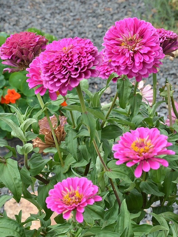 Colourful Zinnias.