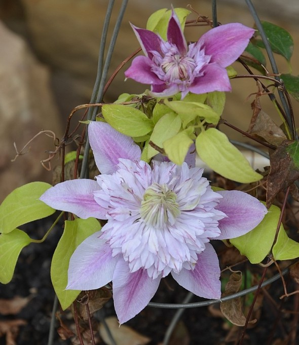 Flowering clematis in the courtyard, a gift from my sister.