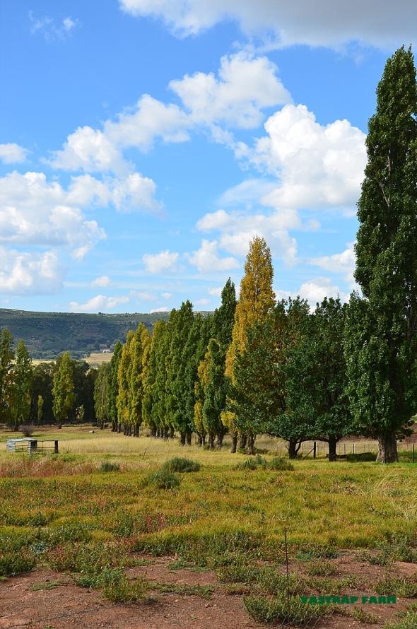 Poplar trees starting to turn.