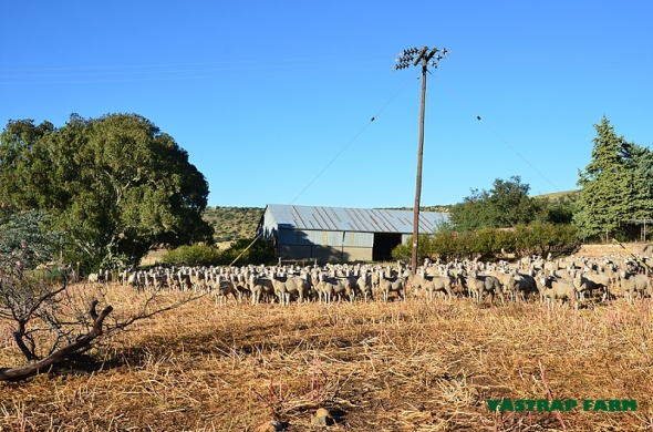 Good morning sheep!