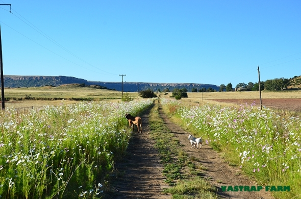 Tumi and Patch loving their walk.