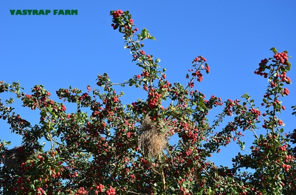 Nest amongst red berries.