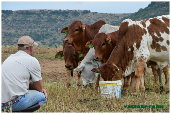 Quentin with his beautiful Boran heifers.