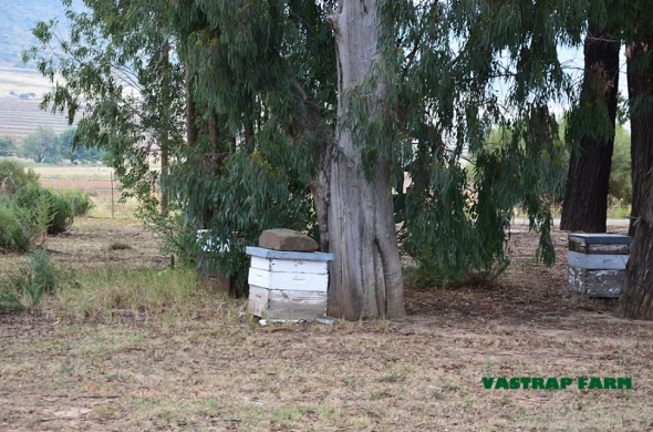 Blue gum bee hives.