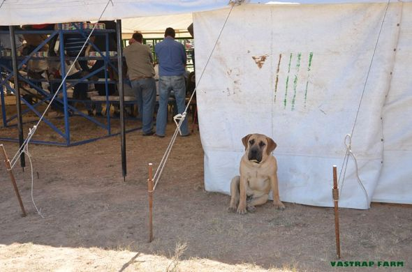 Our boerboel puppy, Duma outside the auction tent.